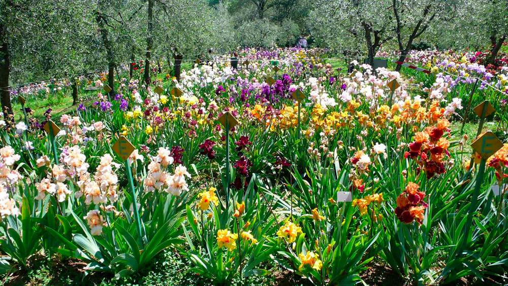 Firenze quando visitare il giardino dell 39 iris for Giardino orientale